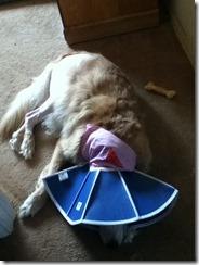 Callie Post Surgery3